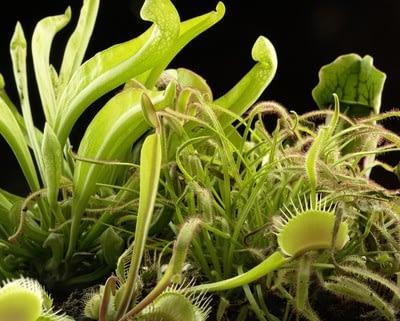 fleischfressende Pflanzen Artenvielfalt